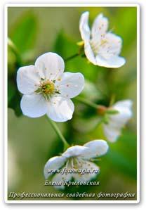 нескучный сад вишня